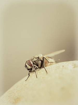 Photograph - The Housefly II by Marco Oliveira