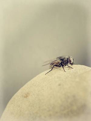 Photograph - The Housefly IIi by Marco Oliveira