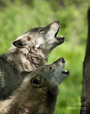 Art Print featuring the photograph The Howling by Wolves Only