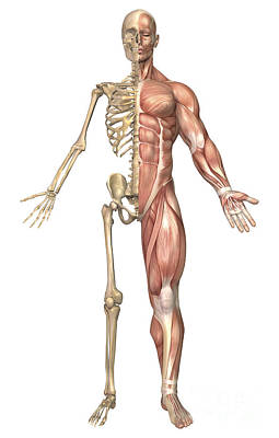 Full Length Digital Art - The Human Skeleton And Muscular System by Stocktrek Images
