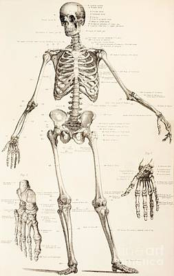 Drawing - The Human Skeleton by English School