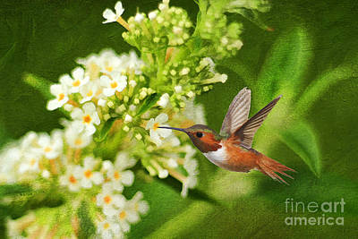 The Hummer And The Butterfly Bush Art Print by Darren Fisher