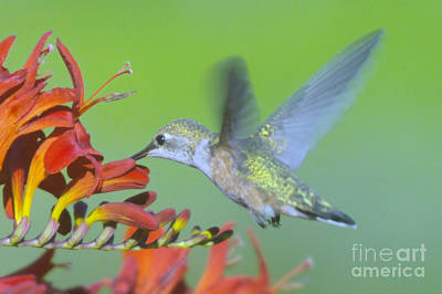 The Humming Bird Sips  Art Print by Jeff Swan