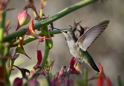 Photograph - The Hummingbird And The Slipper Plant  by Saija  Lehtonen