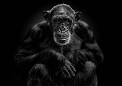 Chimpanzee Photograph - The Hypnotist by Pedro Jarque
