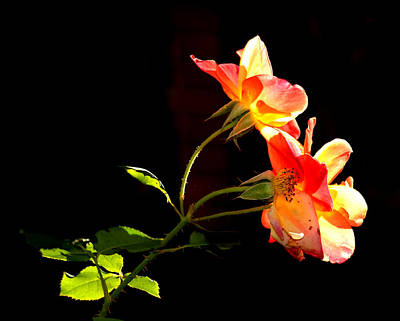 Photograph - The Illuminated Rose by AJ  Schibig