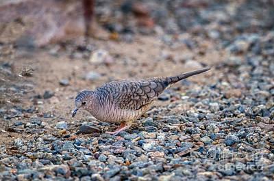 Photograph - The Inca Dove by Robert Bales