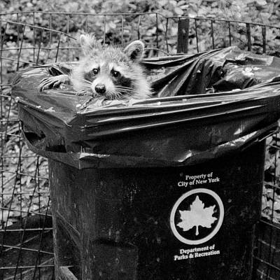 Photograph - The Innocent Raccoon by Cornelis Verwaal