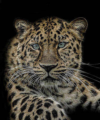 Leopard Wall Art - Photograph - The Interrogator  by Paul Neville