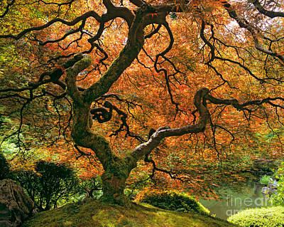 Of Autumn Photograph - The Japanese Maple by Timm Chapman