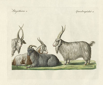 The Kashmir Goats Introduced In France Art Print by Splendid Art Prints