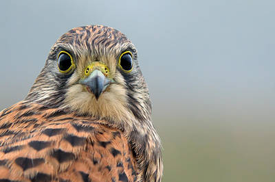 The Kestrel Face To Face Art Print by Torbjorn Swenelius