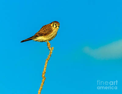Photograph - The Kestrel by Robert Bales