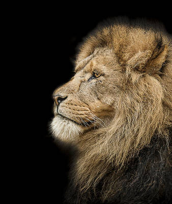 Lion Photograph - The King Is Dead Long Live The King by Paul Neville