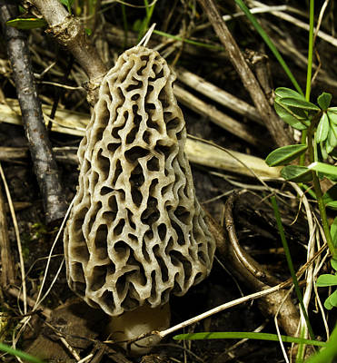 Morel Photograph - The King Of The Forest Floor by Thomas Young