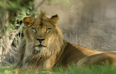Photograph - The King Of The Jungle  by Saija  Lehtonen