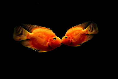 Parrot Fish Photograph - The Kiss by Heike Hultsch