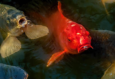 Photograph - The Koi by Kevin Duke