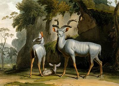 Antelope Drawing - A Kudus Or Kudu by Samuel Daniell