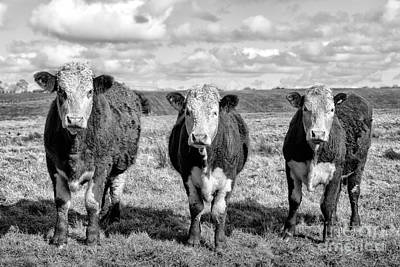 Cow Photograph - The Ladies Three Cows by John Farnan