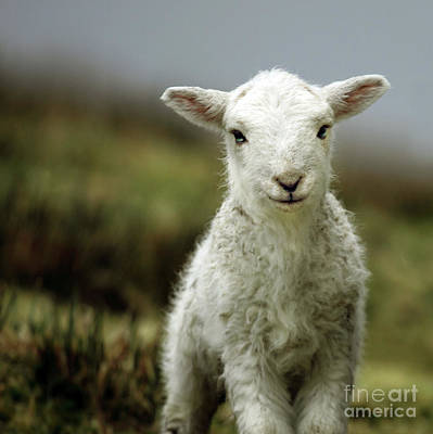 Sheep Photograph - The Lamb by Angel  Tarantella