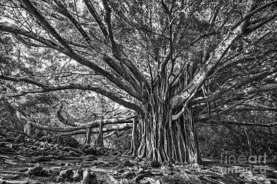 Banyan Tree Photograph - The Large And Majestic Banyan Tree Located On The Pipiwai Trail  by Jamie Pham