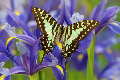 Blue Swallowtail Photograph - The Large Striped Swordtail Butterfly by Darrell Gulin