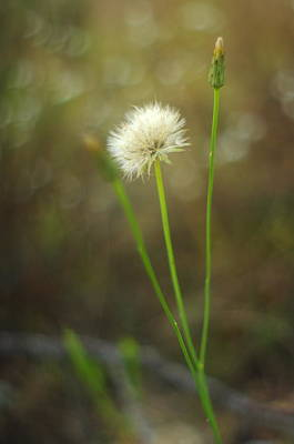 Art Print featuring the photograph The Last Dandelion by Suzanne Powers