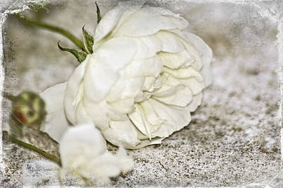 Single Rose Stem Photograph - The Last Rose by Carolyn Marshall