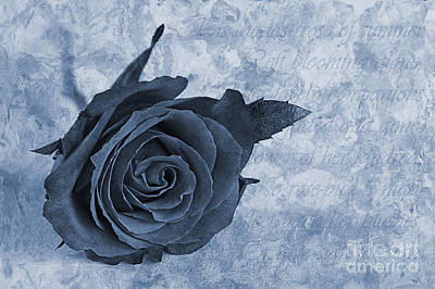 Red Leaf Digital Art - The Last Rose Of Summer Cyanotype by John Edwards