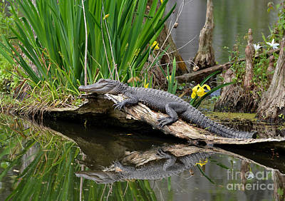 Photograph - The Lazy Gator Reflection by Kathy Baccari