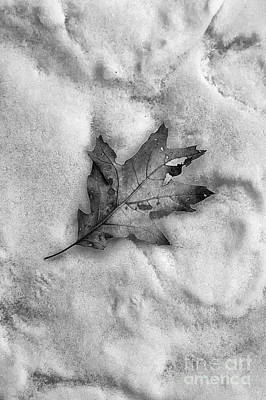 Travel Rights Managed Images - The Leaf and the Snow BW Royalty-Free Image by Mike Nellums