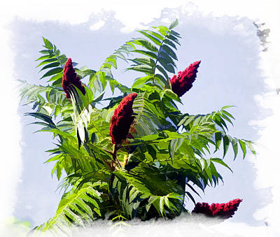 Sumac Flower Photograph - The Lemonade Tree Staghorn Sumac by Constantine Gregory