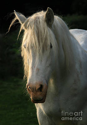 White Unicorn Photograph - The Light In The Mane by Angel  Tarantella