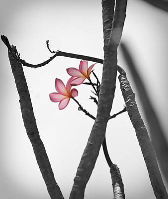 The Light Of Plumeria Art Print by Chris Ann Wiggins