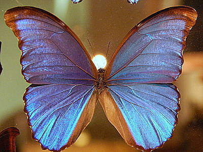 Photograph - New Orleans The Light Upon A Blue Morpho Butterfly In Louisiana by Michael Hoard