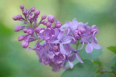 Photograph - The Lilac Appeal 2 by Fraida Gutovich