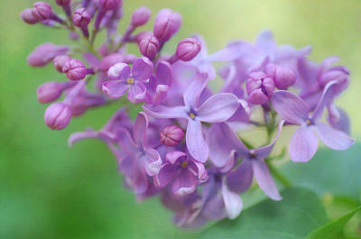 Photograph - The Lilac Appeal by Fraida Gutovich