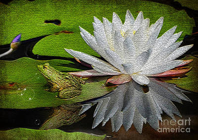 Photograph - The Lily And The Frog by Kathy Baccari