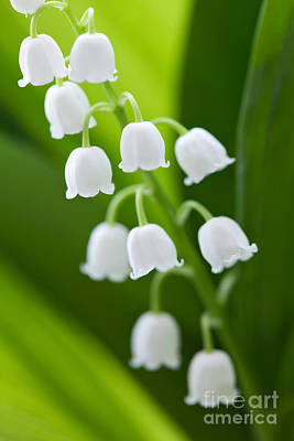 The Lily Of The Valley Art Print by Boon Mee