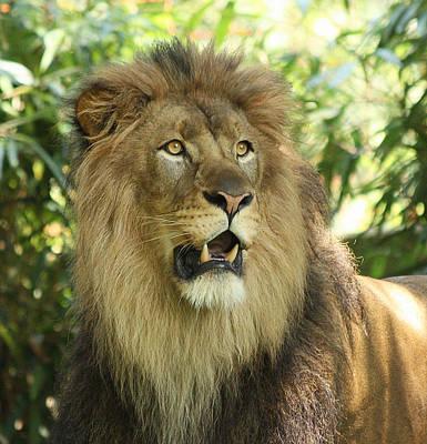 Photograph - The Lion King by Kim Hojnacki