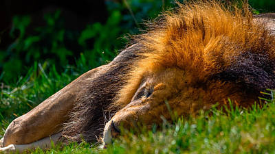 The Lion Sleeps Tonight Art Print