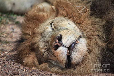 The Lion Sleeps Tonight V4 Print by Douglas Barnard