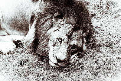 Art Print featuring the photograph The Lion Sleeps Tonight by Wade Brooks