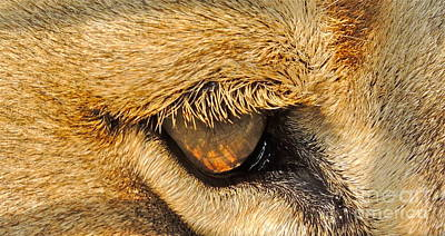 Photograph - The Lion's Eye by Eve Spring