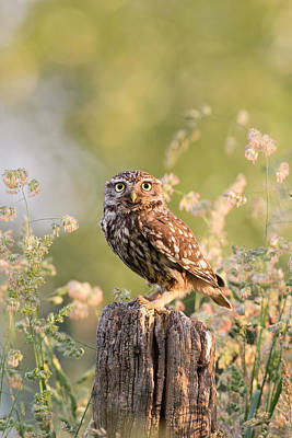 Front View Photograph - The Little Owl by Roeselien Raimond