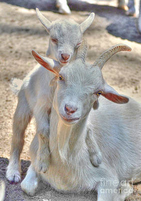 Photograph - The Littlest Goat by Kathy Baccari
