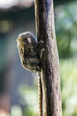 Photograph - The Littlest Monkey by Alfio Finocchiaro