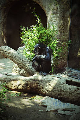 Photograph - The Lone Chimp by Holly Blunkall