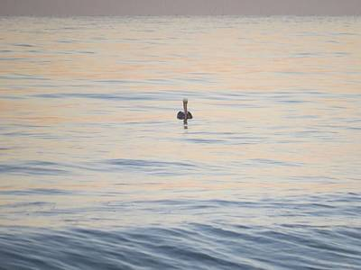 Photograph - The Lone Pelican by Nina Donner